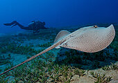 Honeycomb Whipray, Rotes Meer, Ägypten