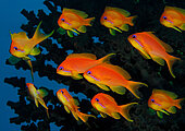 Anthias Riffbarsche